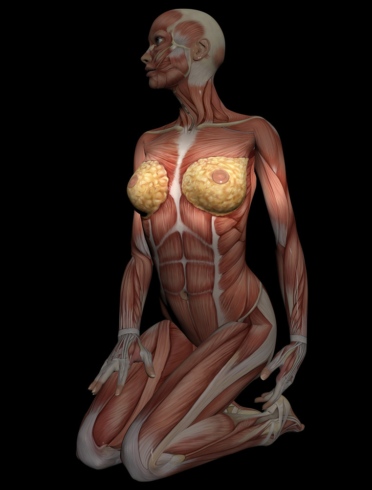 3d Model Of Muscles Of Female Torso For Study