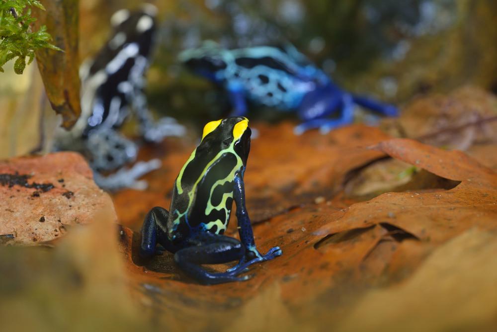 Blue dart frog Dendrobates tinctorius in terrarium. Colourful bright tropical frog.