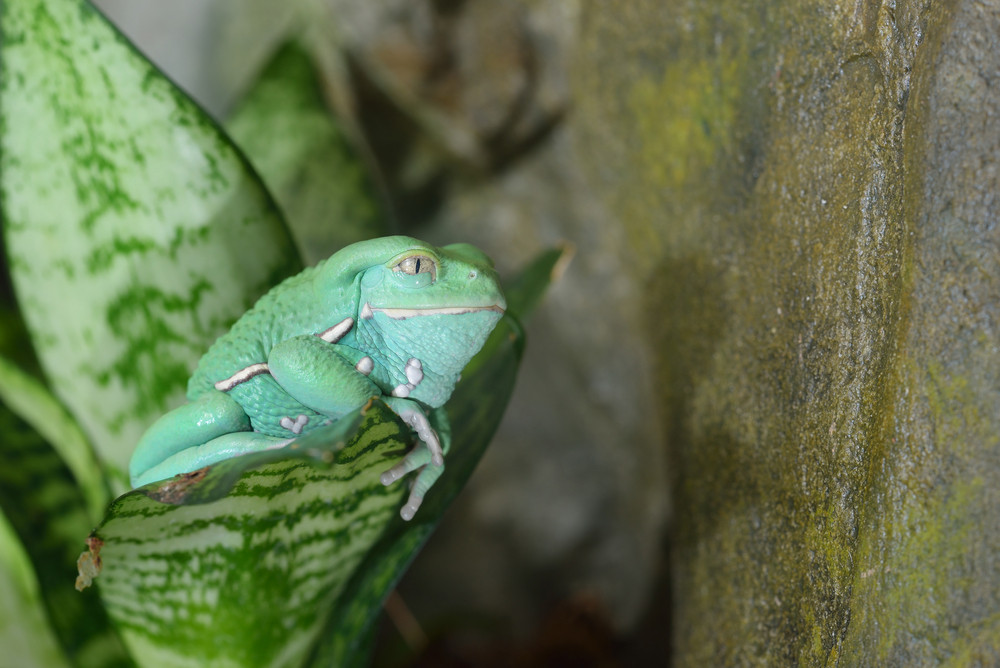 Waxy monkey leaf frog (Phyllomedusa sauvagii) in natural rainforest environment on a branch. Colorful bright green tropical frog.