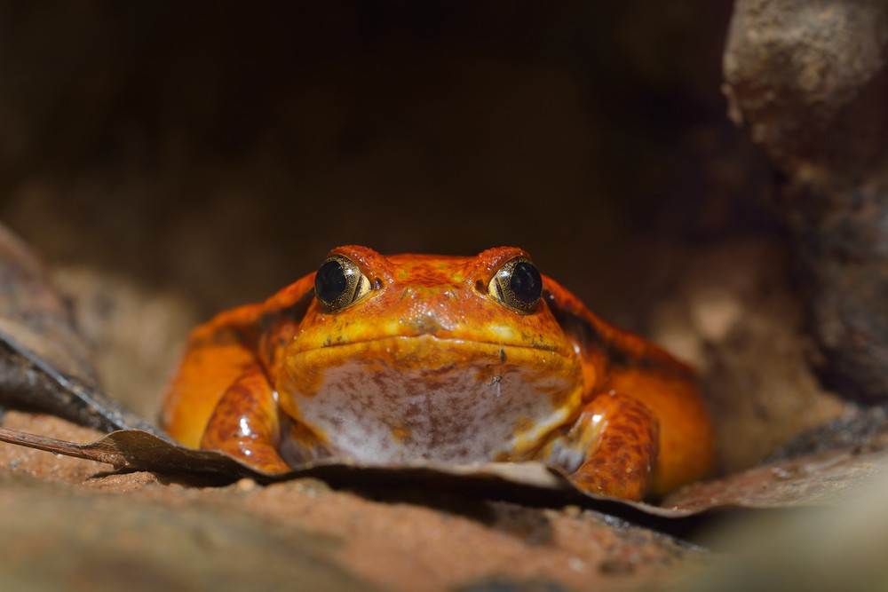 The false tomato frog Dyscophus guineti in natural tropical environment. Fat red frog hiding in dry leaves.