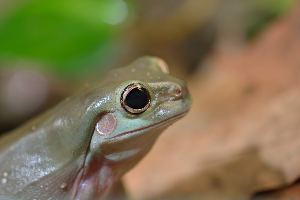 Australian green tree frog Litoria caerulea head closeup