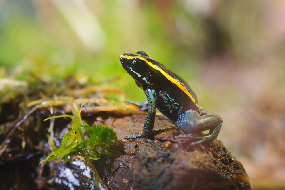 Golfodulcean Poison Dart Frog (Phyllobates vitatus) in a natural rainforest environment. Colourful striped tropical frog.