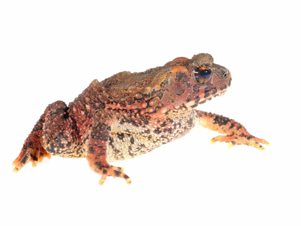 Bony-headed toad Ingerophrynus galeatus isolated on white
