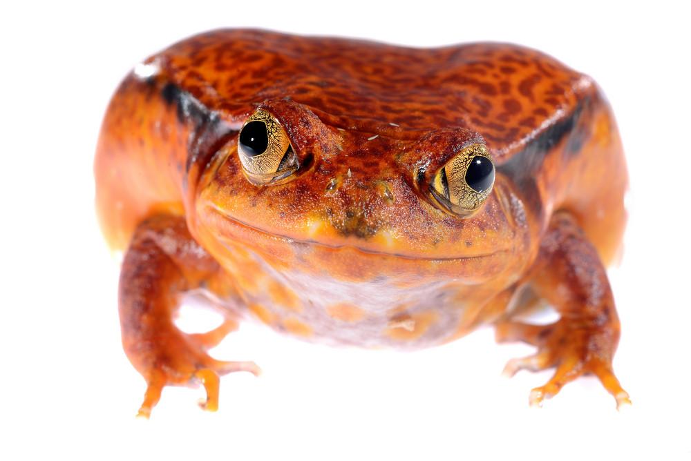 The false tomato frog Dyscophus guineti isolated on white