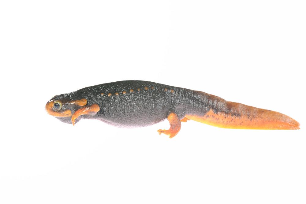 Black newt Tylototryton verrucosus isolated on white