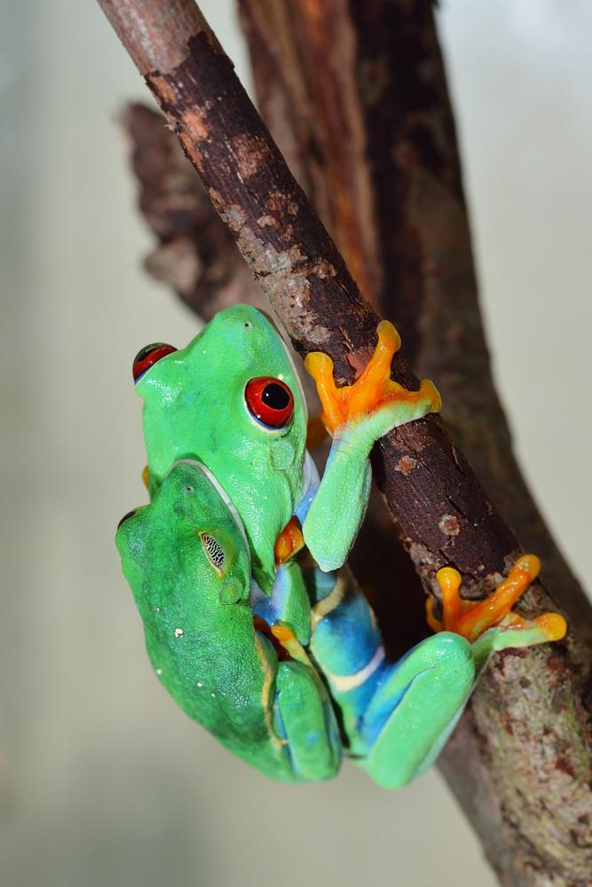 Red-eye tree frog  Agalychnis callidryas mating