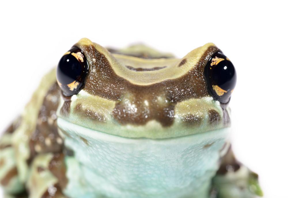 Golden-eyed tree frog or Amazon milk frog Trachycephalus resinifictrix isolated