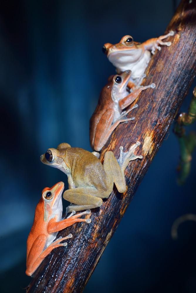Common tree frog Polypedates leucomystax in terrarium