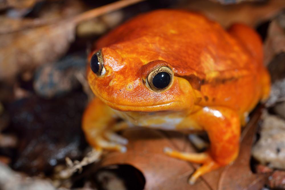 The false tomato frog Dyscophus guineti in terrarium