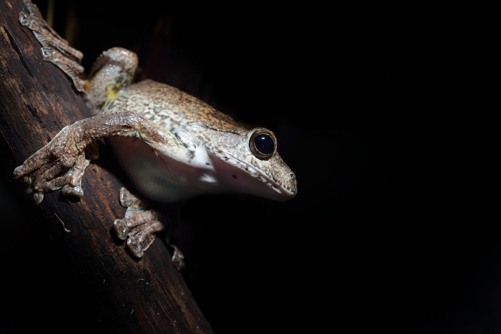 Annam flying frog Rhacophorus annamensis in terrarium
