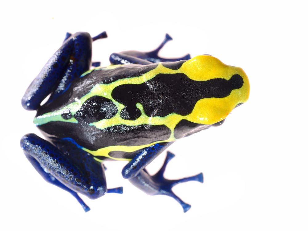 Blue dyeing dart frog Dendrobates tinctorius isolated on white