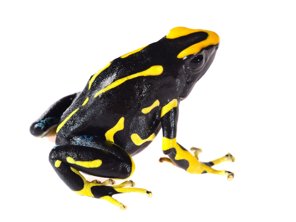 Yellow dyeing dart frog Dendrobates tinctorius allanis isolated on white