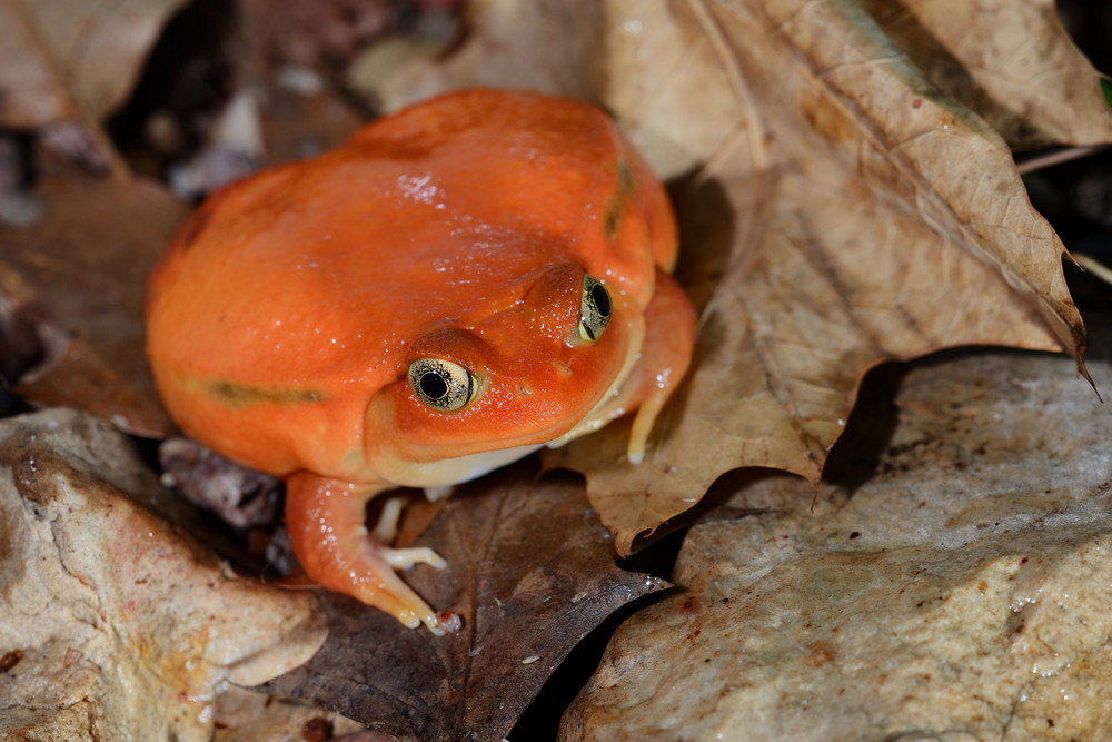 The false tomato frog Dyscophus antongilii in terrarium