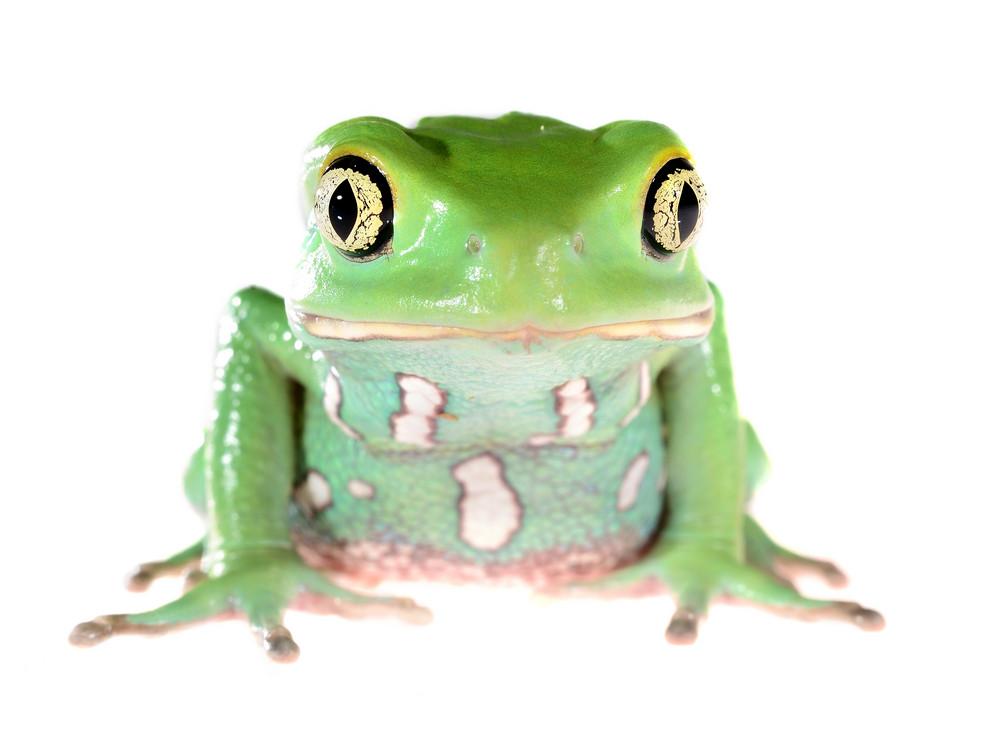 Green waxy monkey leaf frog Phyllomedusa sauvagii isolated on white