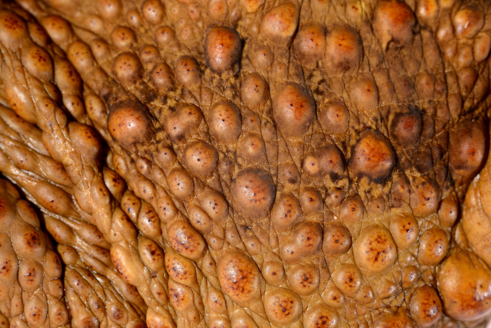 Skin close-up of the cane toad (giant marine toad) Bufo marinus