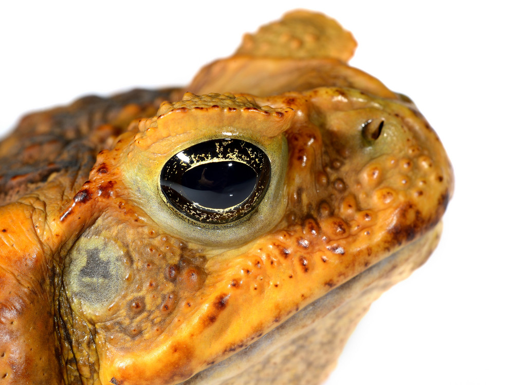 The cane toad head (giant marine toad) Bufo marinus isolated on white