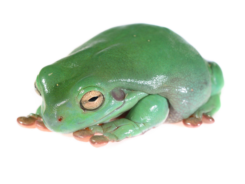 Australian green tree frog Litoria caerulea isolated on white
