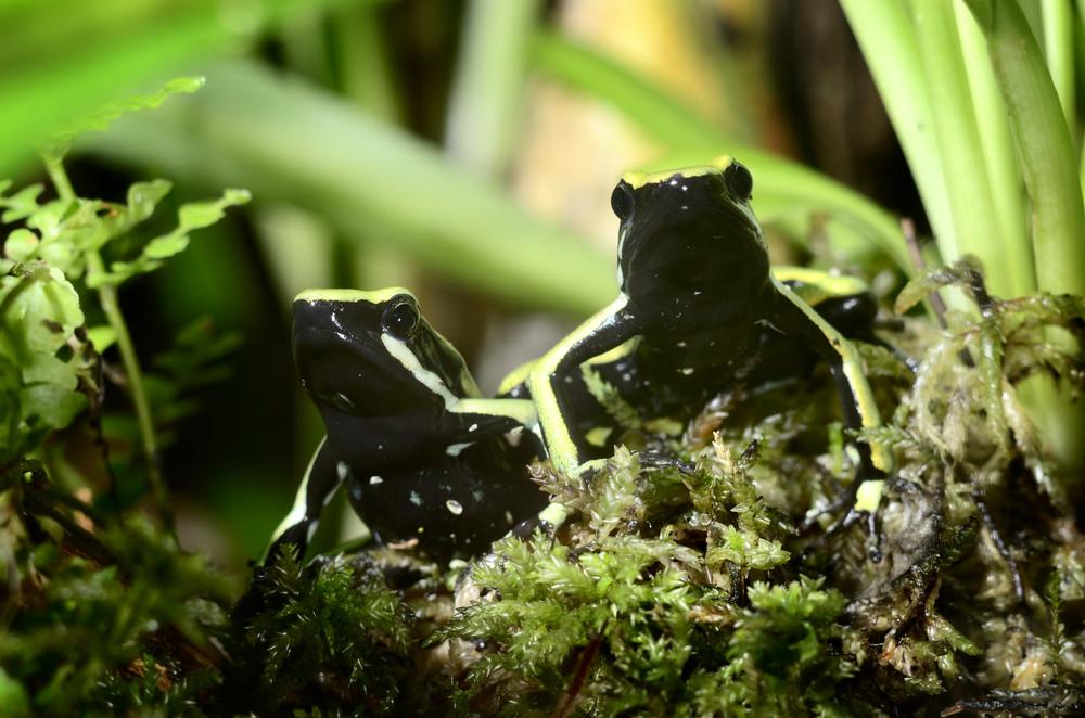 Two green frogs in terrarium