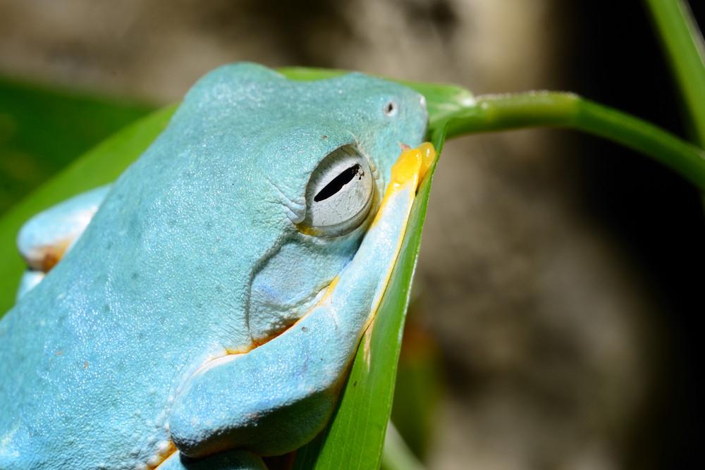Colorful blue frog in terrarium