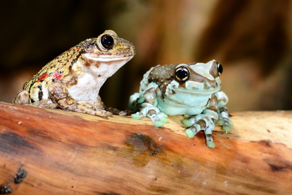 Two colorful frogs in terrarium
