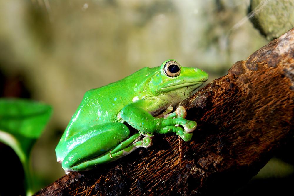 Colorful green frog Polypidates dennysii