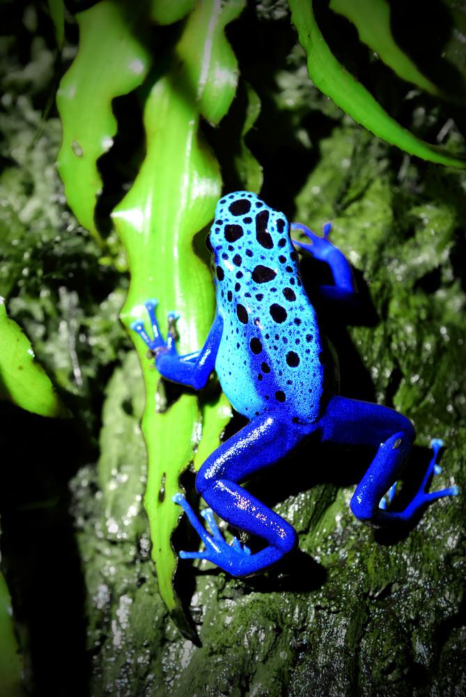 Colorful blue frog sitting in terrarium