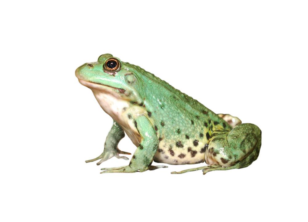 European common green frog in terrarium