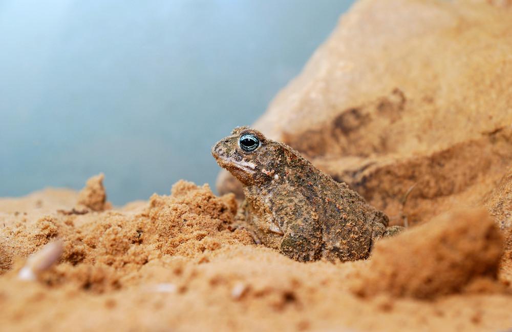 Sand toad in terrarium