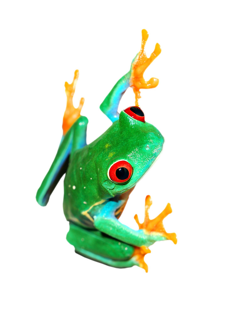 Red-eye frog Agalychnis callidryas sitting vertically isolated on white
