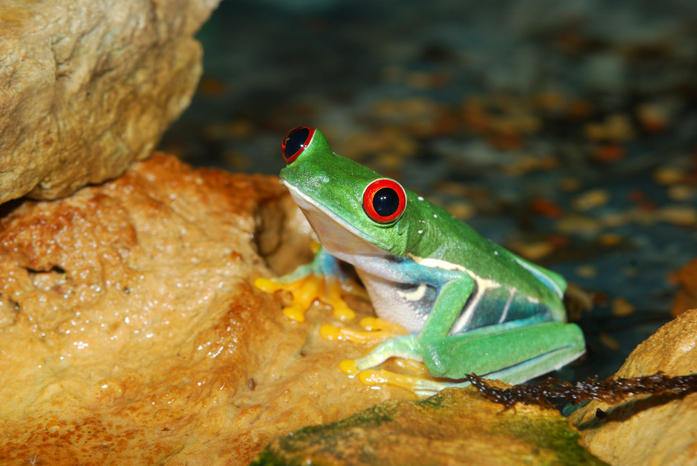 Smilling red-eye frog in nature