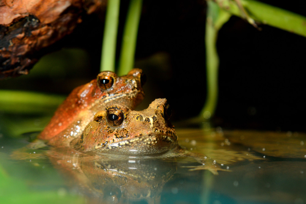 Tropical toads mating