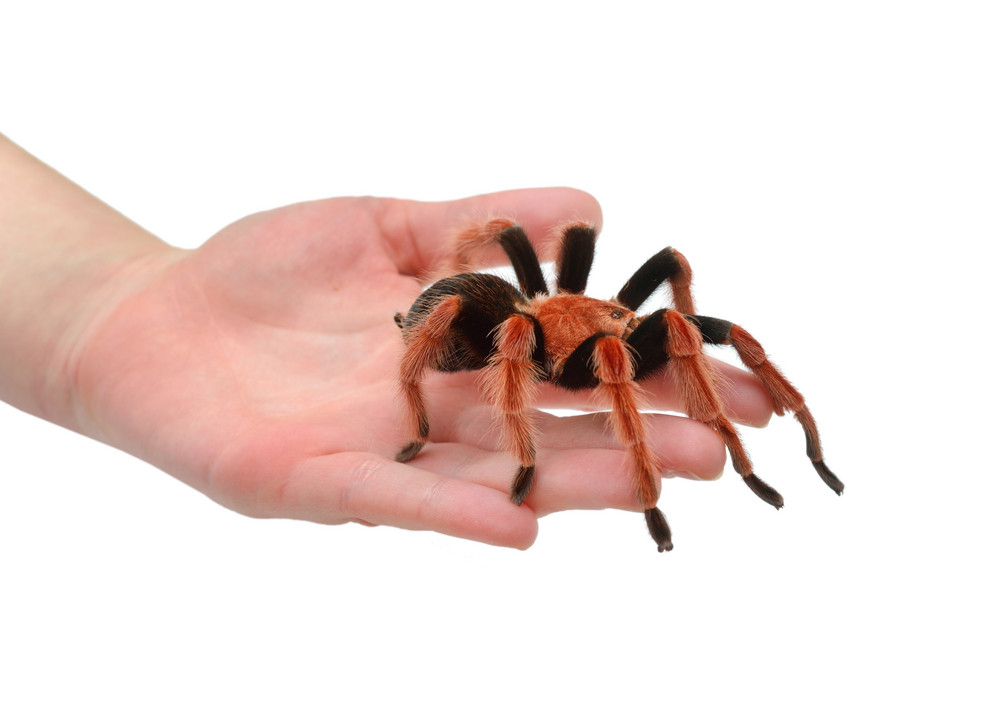 Birdeater tarantula spider Brachypelma boehmei held in hand isolated over white. Bright red colourful giant arachnid.