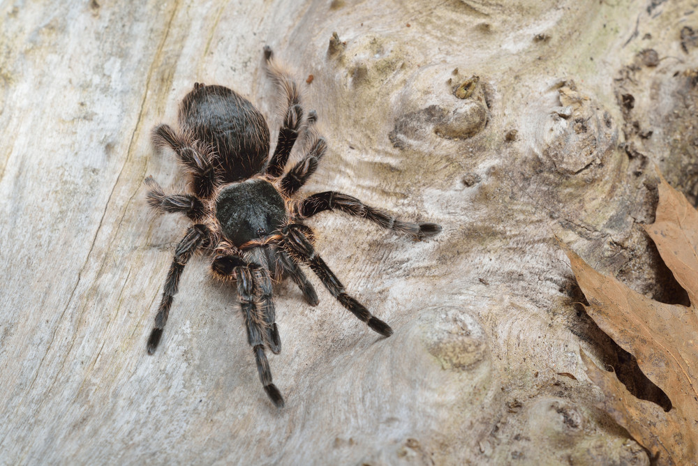 Birdeater curlyhair tarantula spider Brachypelma albopilosum in natural forest environment. Black hairy giant arachnid.