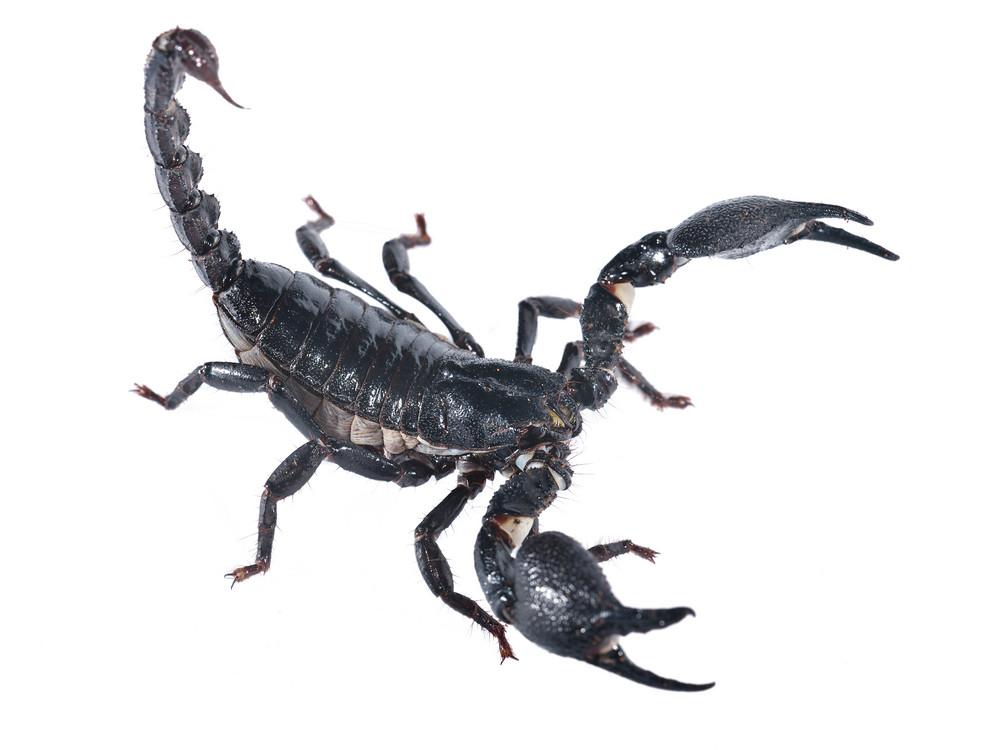Scorpion (Heterometrus laocitus) isolated on white. No shadow
