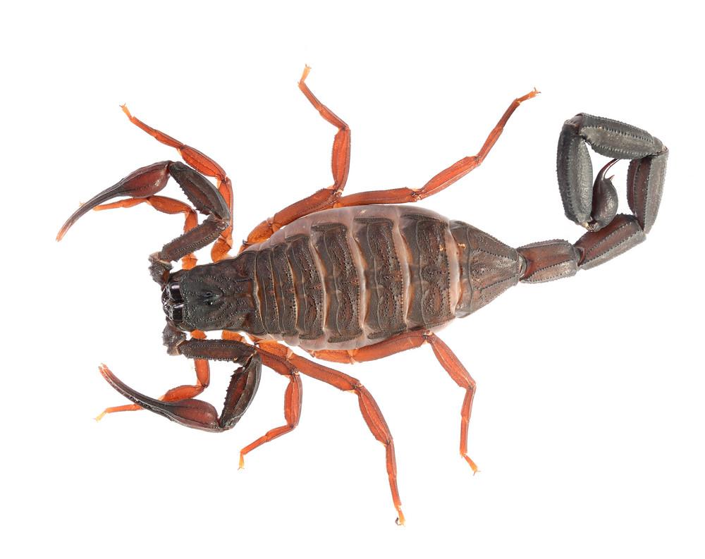 Scorpion Centruroides gracilis isolated on white. No shadow