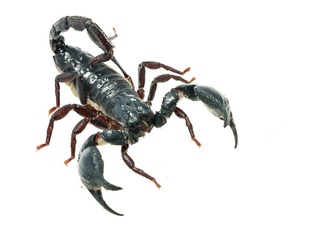 Large black scorpion Heterometrus laoticus isolated