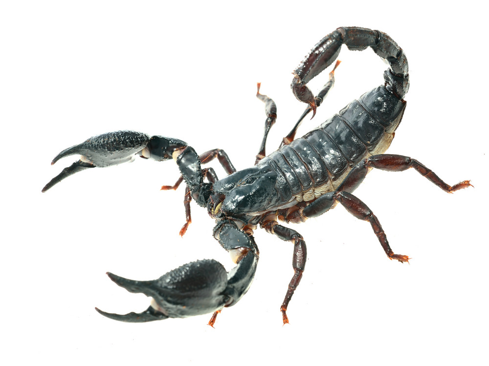 Large black scorpion Heterometrus laoticus isolated