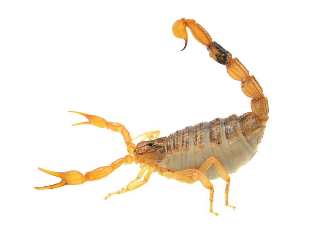 Morocco desert scorpion Bothus occitanus isolated