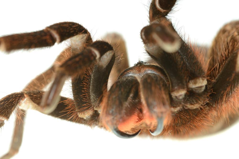 Giant tarantula Phormictopus platus in aggression posture isolated
