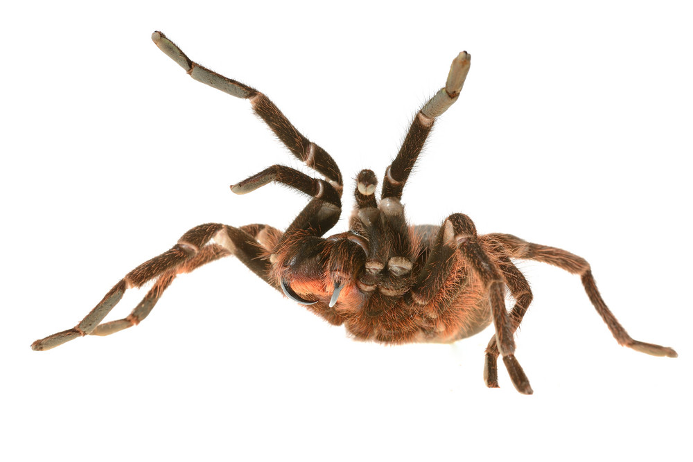 Giant tarantula Phormictopus platus in aggression posture isolated