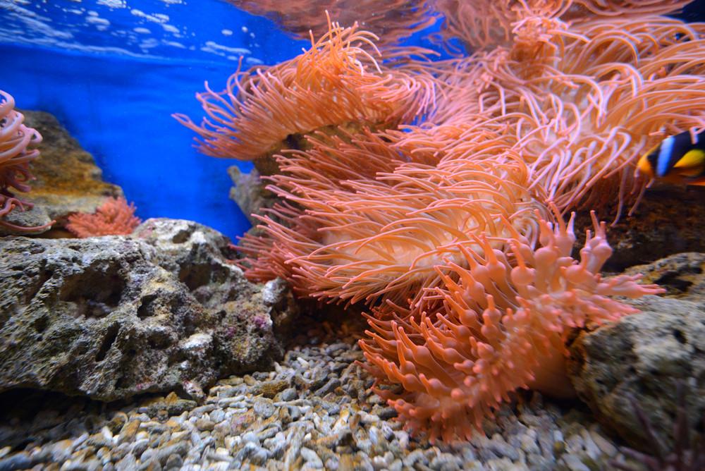 Exotic marine aquarium environment with pink actinia