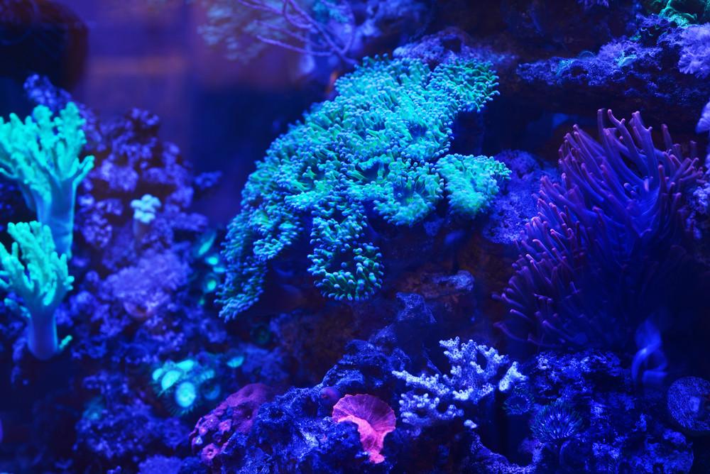 Sea anemones and corals in marine aquarium