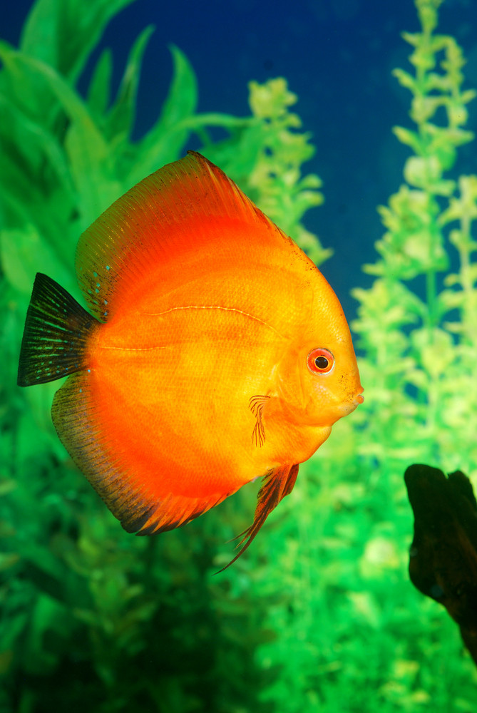 Discus fish Symphysodon spp. in aquarium