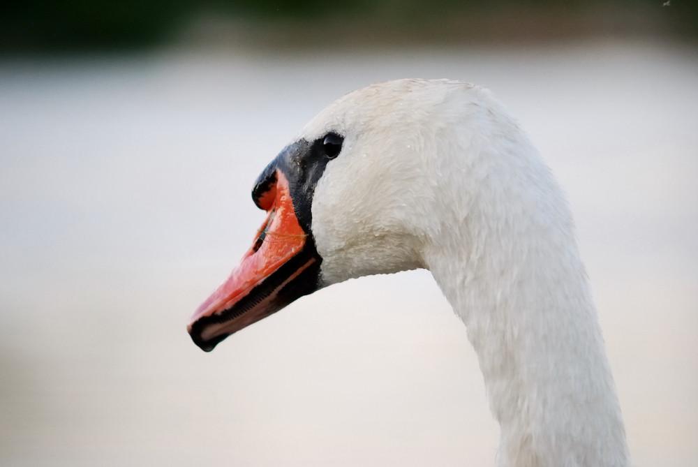 While swan