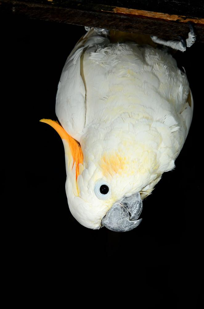 White parrot on black background