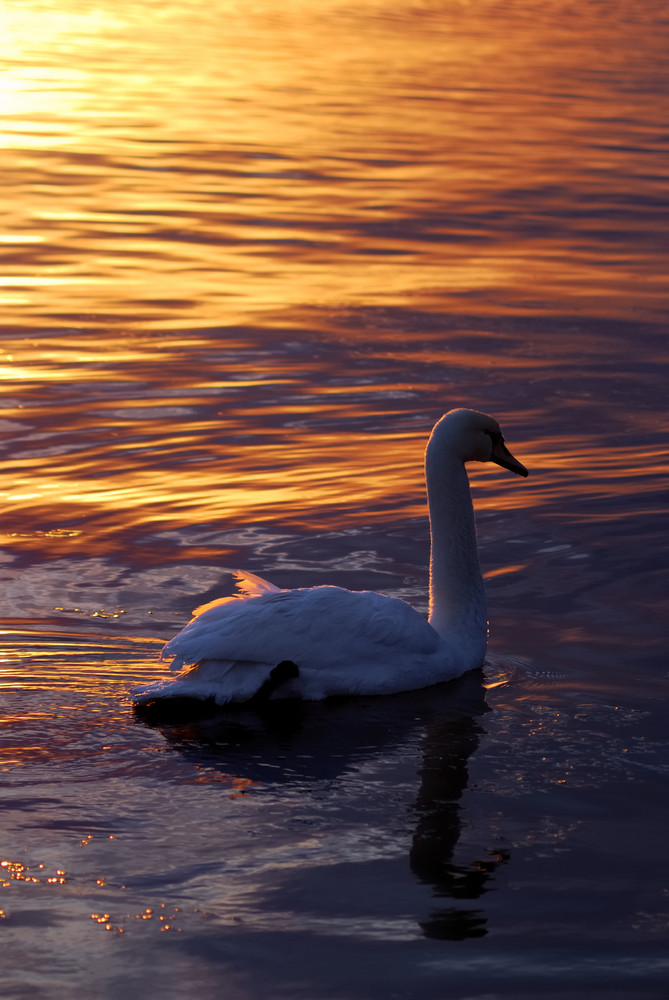 Swan swimming in lake in the sunset light