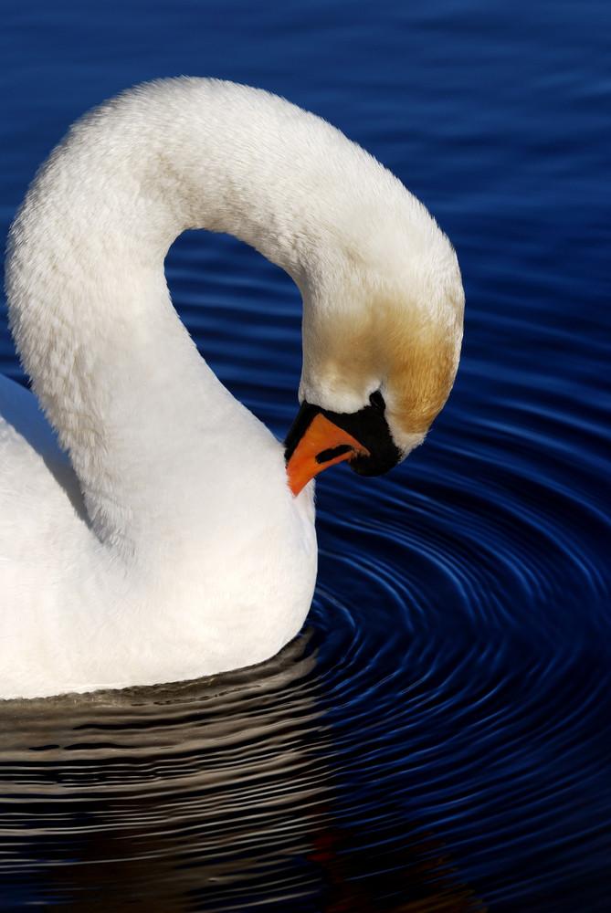 White swan on blue still water