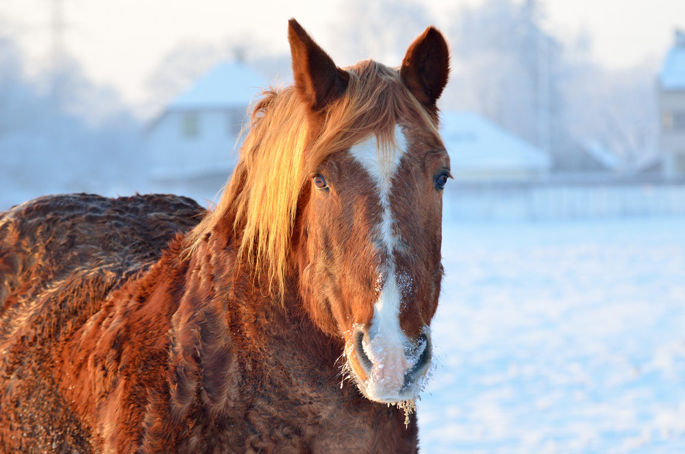 Horse close-up in winter