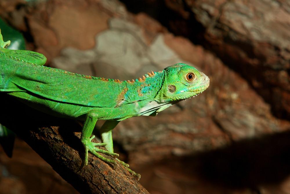 Green tropical lizard in terrarium