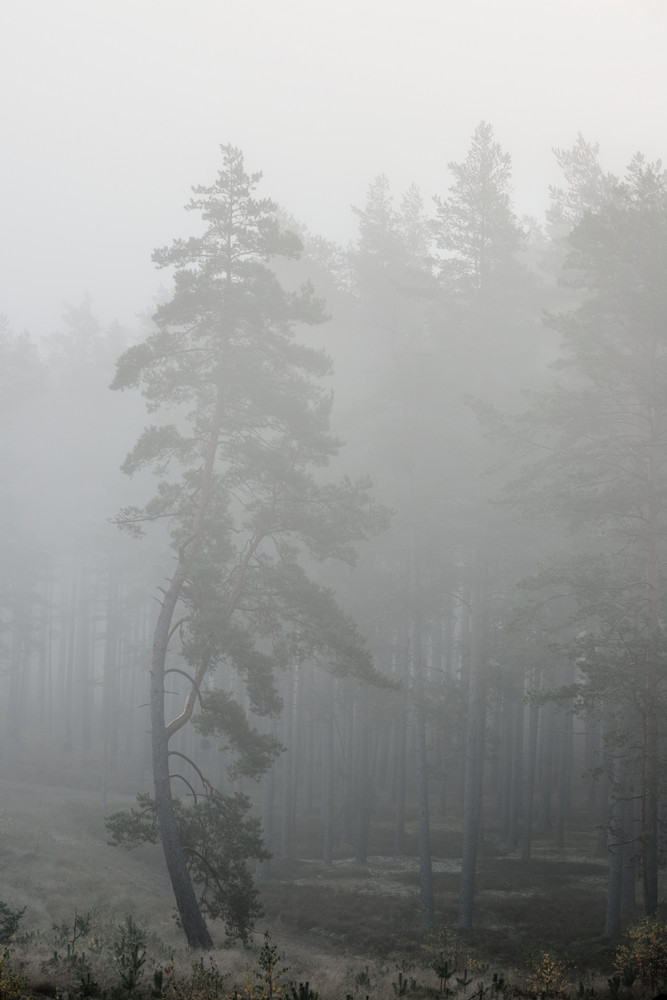 Strong Morning Fog In The Forest